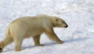 ijsbeer-polar-bear-28