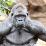 gorilla-jpeg-300x191
